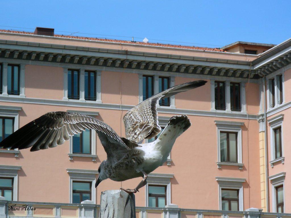 שחף בונציה