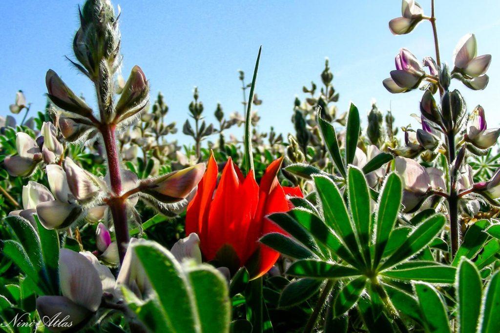 צבעוני המדבר ותורמוס