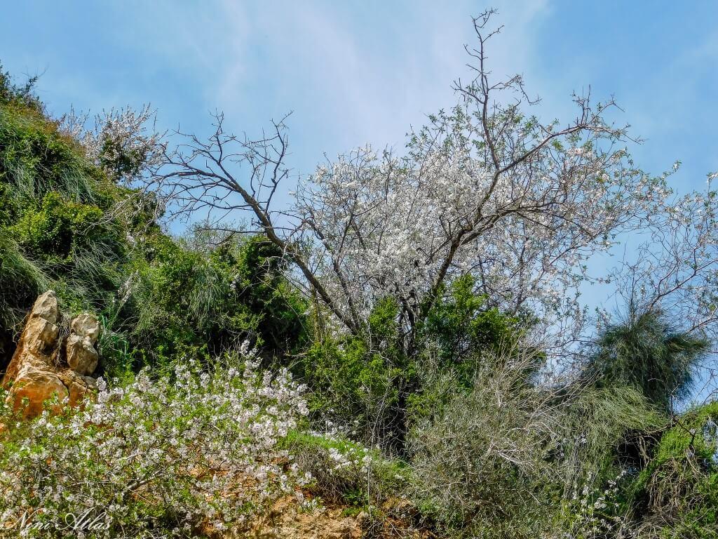 שקדיות שצומחות מתוך ההר