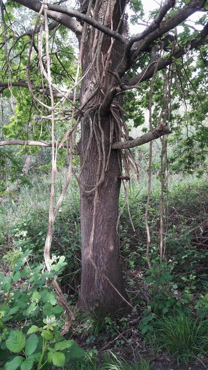 עץבסמוך לאגם קנילינגר ולריין
